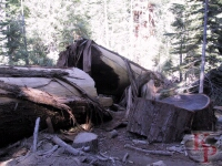 Fallen Sequoia, Mariposa Grove, Giant Sequoia, Yosemite