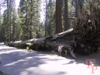 Fallen Monarch, Mariposa Grove, Giant Sequoia, Yosemite