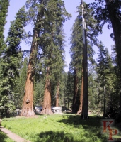 Upper Mariposa Grove, Giant Sequoia, Yosemite