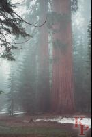 Upper Mariposa Grove, Giant Sequoia, Snow, Yosemite